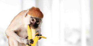 mono cariblanco come banano