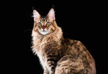 gatito raza maniee coon