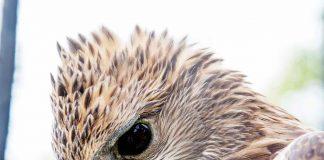 El Águila Crestada, (Spizaetus isidori) acostumbra a sobrevolar los cielos del suroriente del departamento de Boyacá con frecuencia.