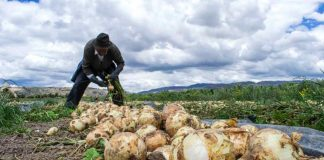 cebolla cosecha agricola
