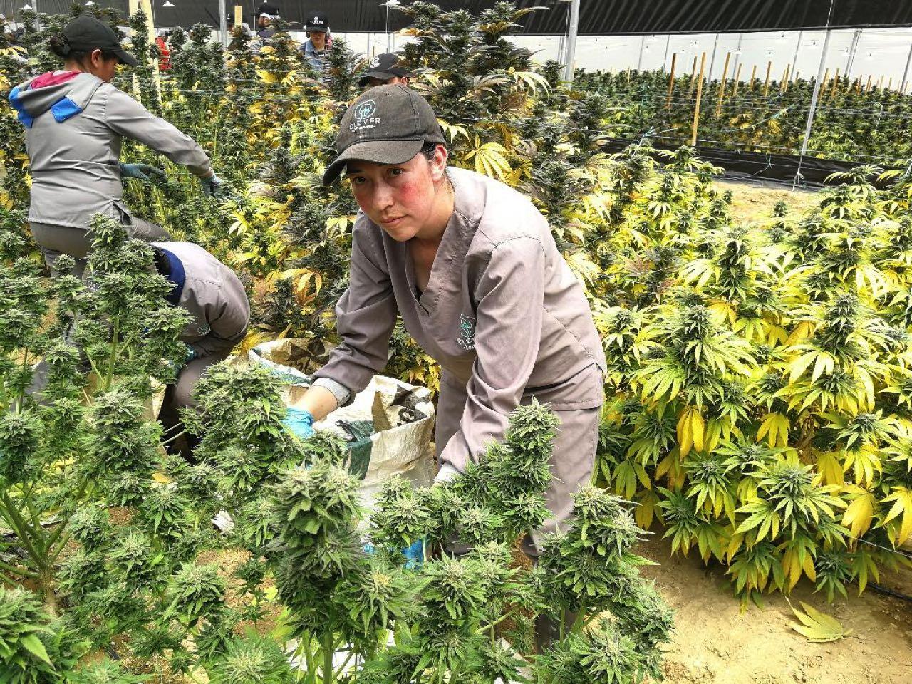 Cultivos de cannabis medicinal de la compañía Clever Leaves en el municipio de Pesca, vereda Tobacá