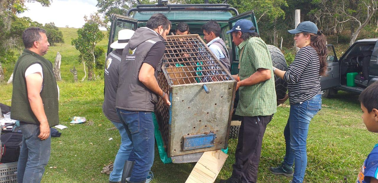 Osa andina rescatada en Moniquirá permanecerá en centro de rehabilitación por desnutrición 1
