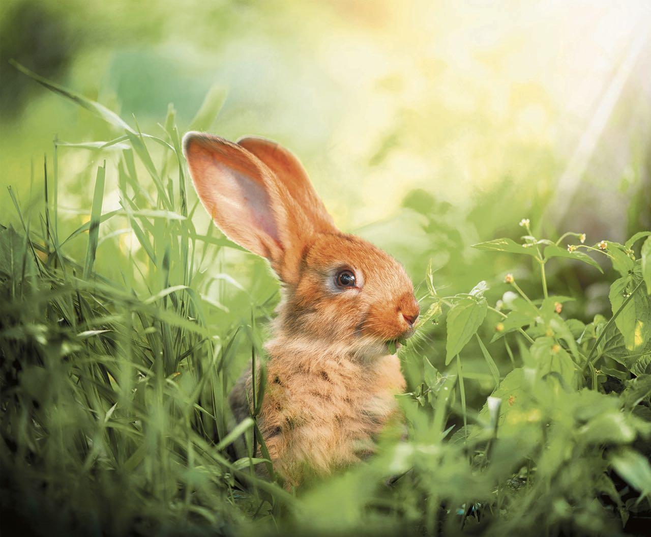 El descenso en la población de los conejos acarrea otros peligros para la fauna, por eso están buscando soluciones y estrategias.