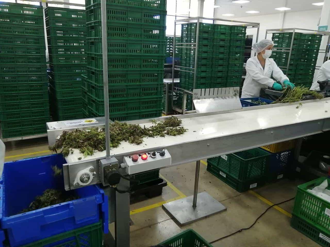 Cannabis medicinal de Boyacá se exporta a 14 países en 5 continentes 2