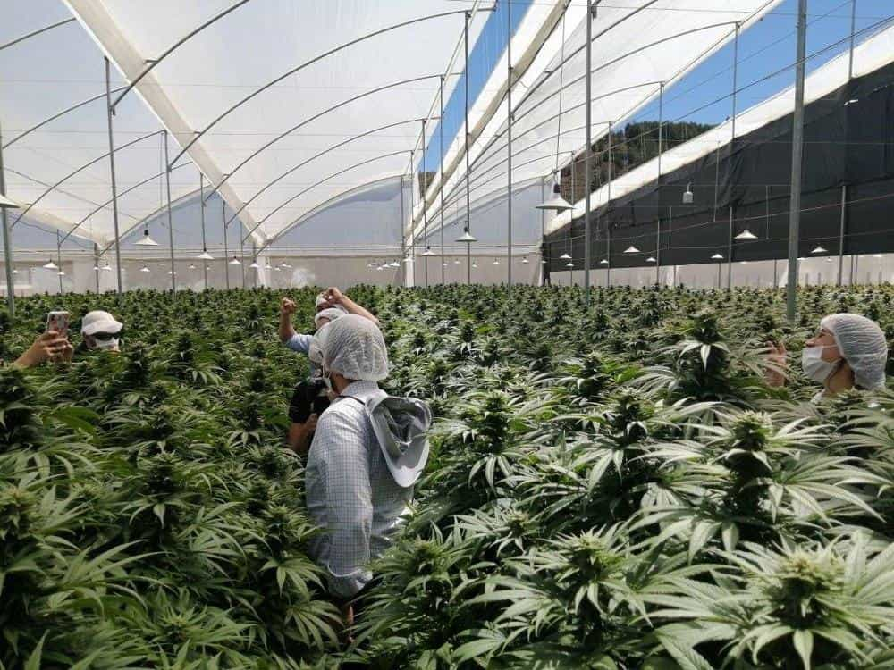 Cannabis medicinal de Boyacá se exporta a 14 países en 5 continentes 1