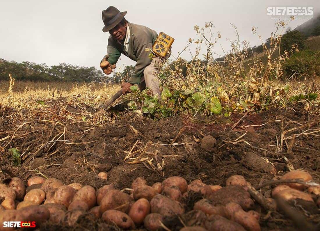 Cultivos como el de la cebolla junca y la papa, resultaron beneficiados en medio del aislamiento y hoy mantienen sus precios.