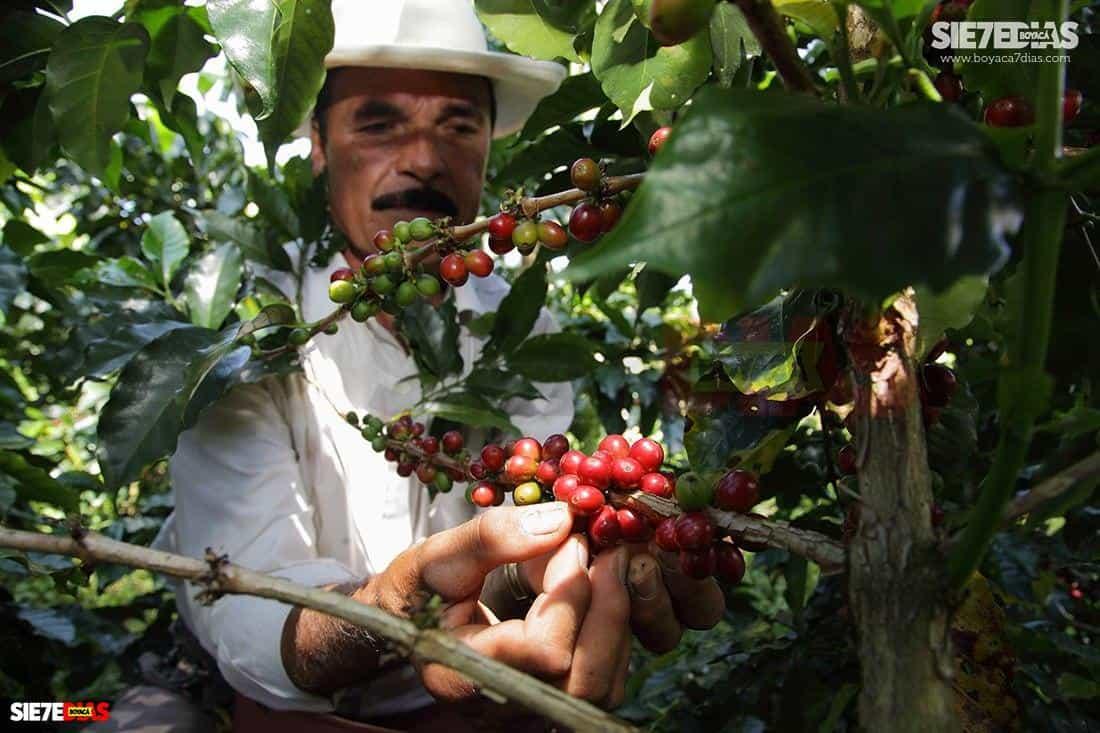Hasta el momento se conoce de muy pocos casos de COVID-19 entre productores agrícolas o pecuarios del departamento. Apenas se conoció de contagios que trajeron de Corabastos a sus municipios productores de Sutamarchán, Aquitania y Guateque.