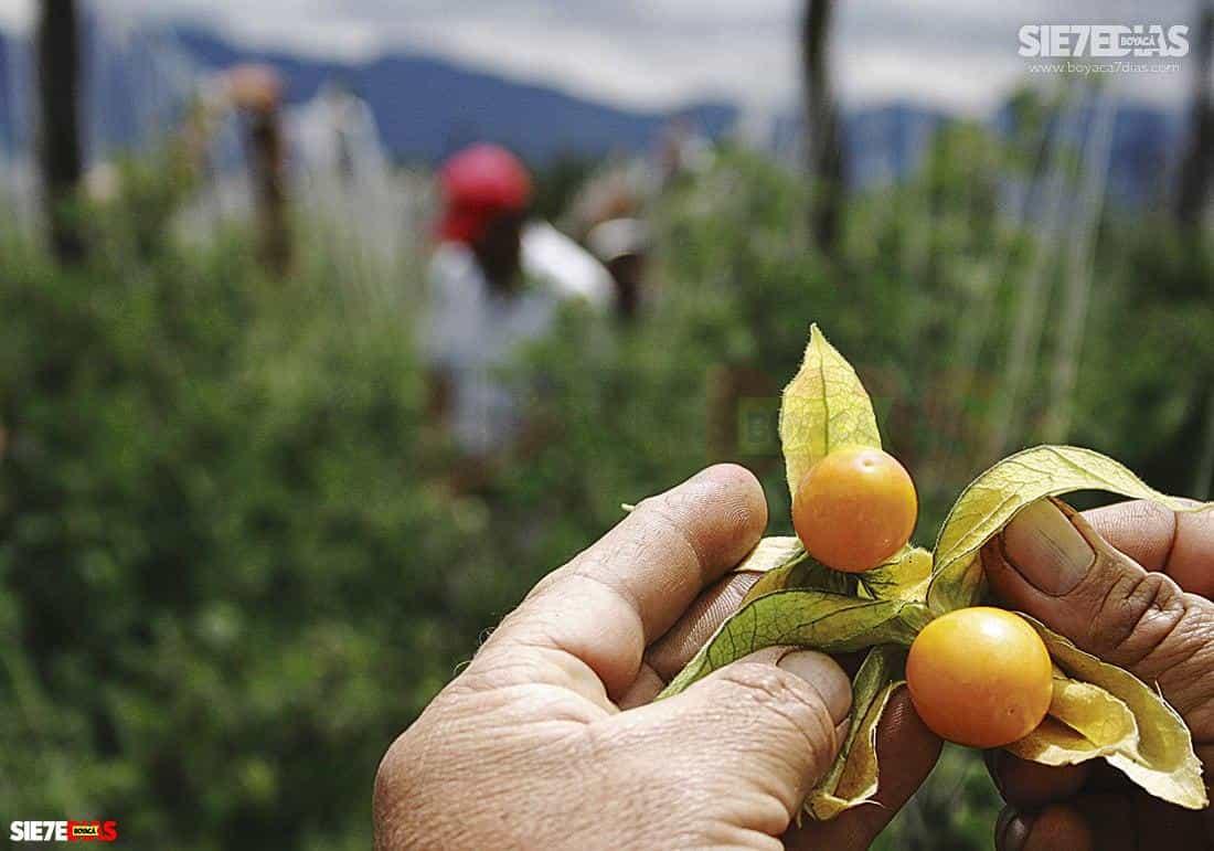 La mayoría de las frutas también mantuvo su proceso normal, a pesar de la pandemia.