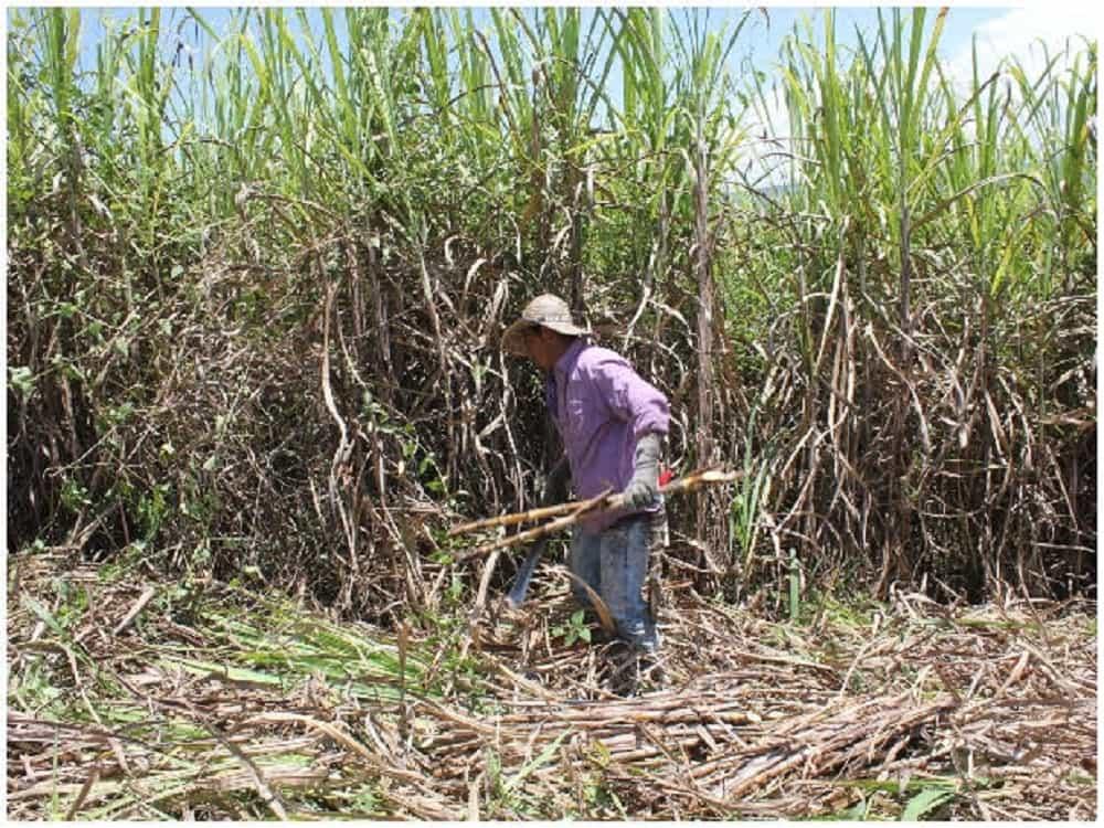 Cerca de 19.000 son las hectáreas cultivadas con caña panelera en Boyacá 1