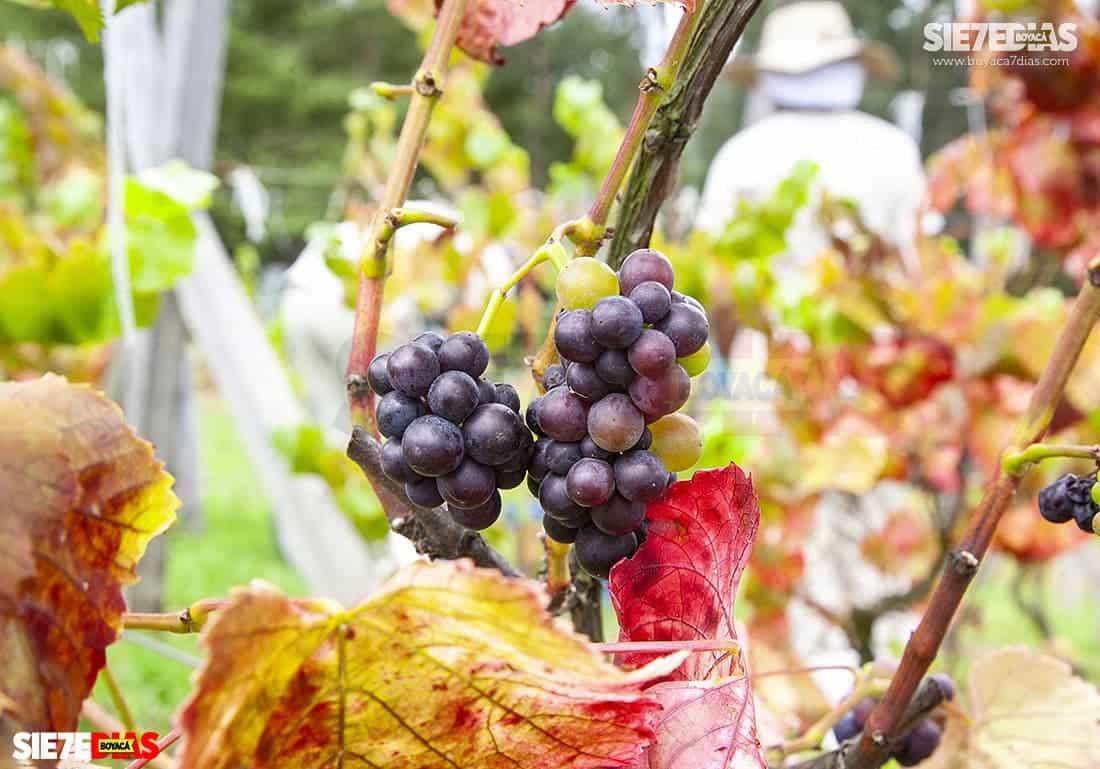 En 1984 empezó a sembrar uvas en la loma de Puntalarga, en el municipio de Nobsa. Foto: archivo Boyacá Sie7e Días