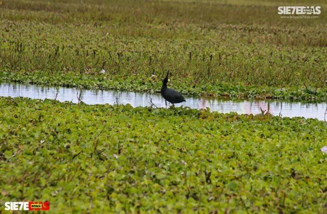 [Galería] - Laguna de Fúquene, hábitat de peces, crustáceos, anfibios y más de 150 especies de aves entre endémicas, amenazadas y migratorias. #AlNatural 3