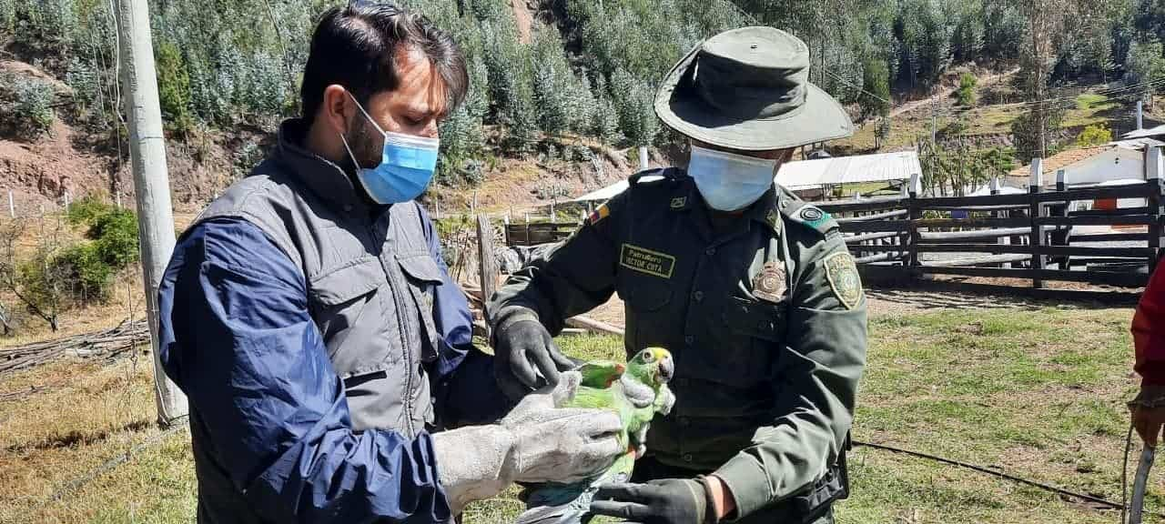 Un tucán, un loro real y tres ken ken, entre las aves recuperadas en operativos de Corpoboyacá #AlNatural 2