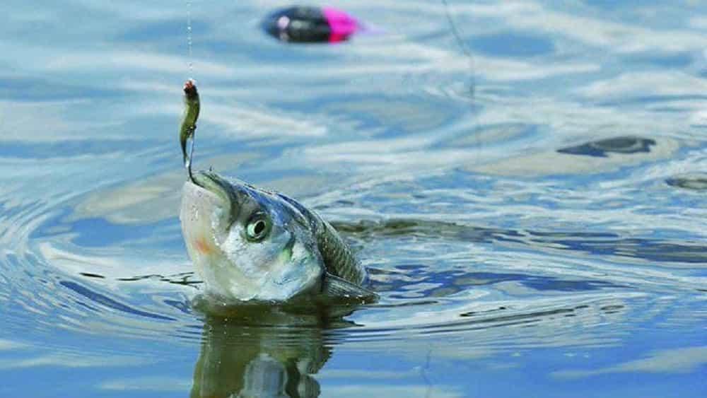 Uno de cada tres peces de agua dulce en el mundo ya está en peligro 1