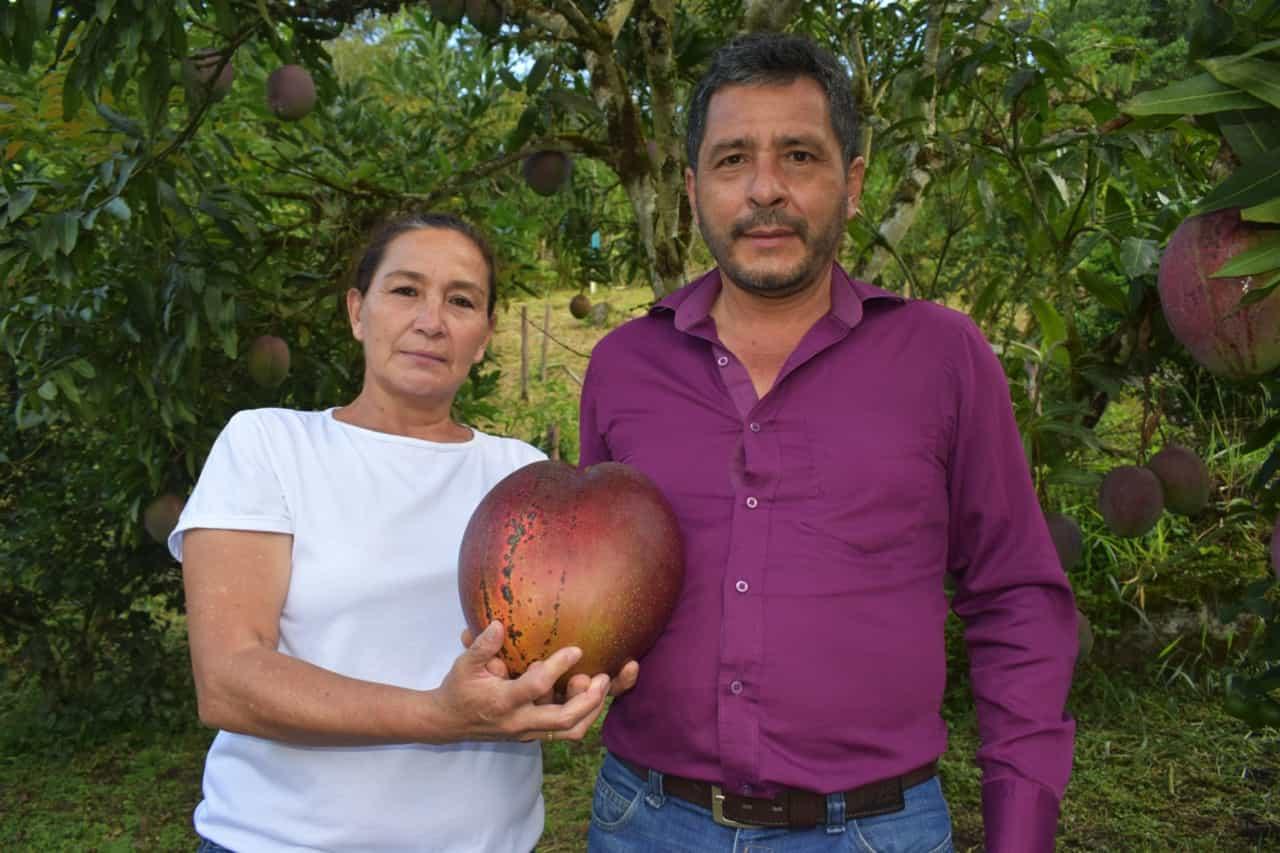 En Guayatá se cultivó el mango más grande del mundo 1