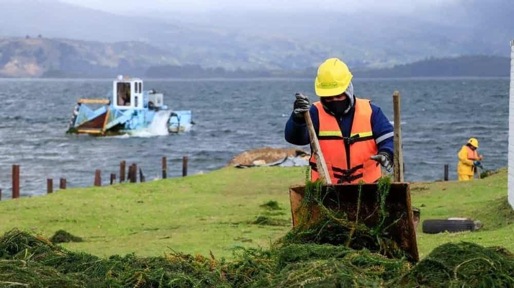Adelantan la extracción de elodea de las aguas del lago de Tota 1