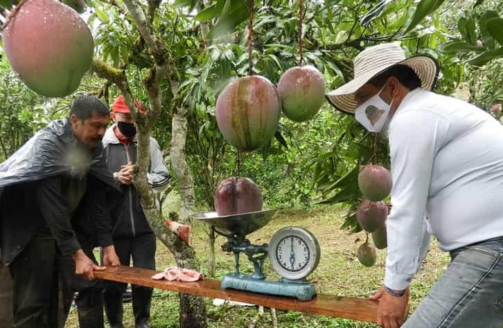 En Guayatá se cultivó el mango más grande del mundo 2