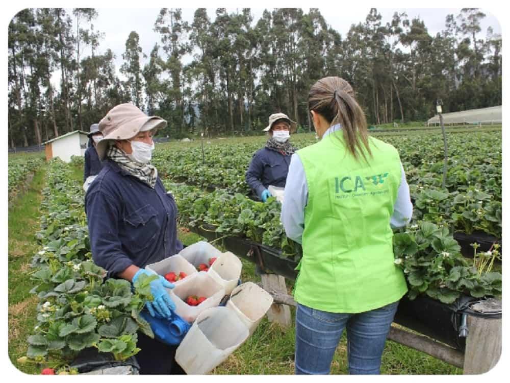 El ICA intensifica vigilancia de plagas de la fruta en Boyacá 1