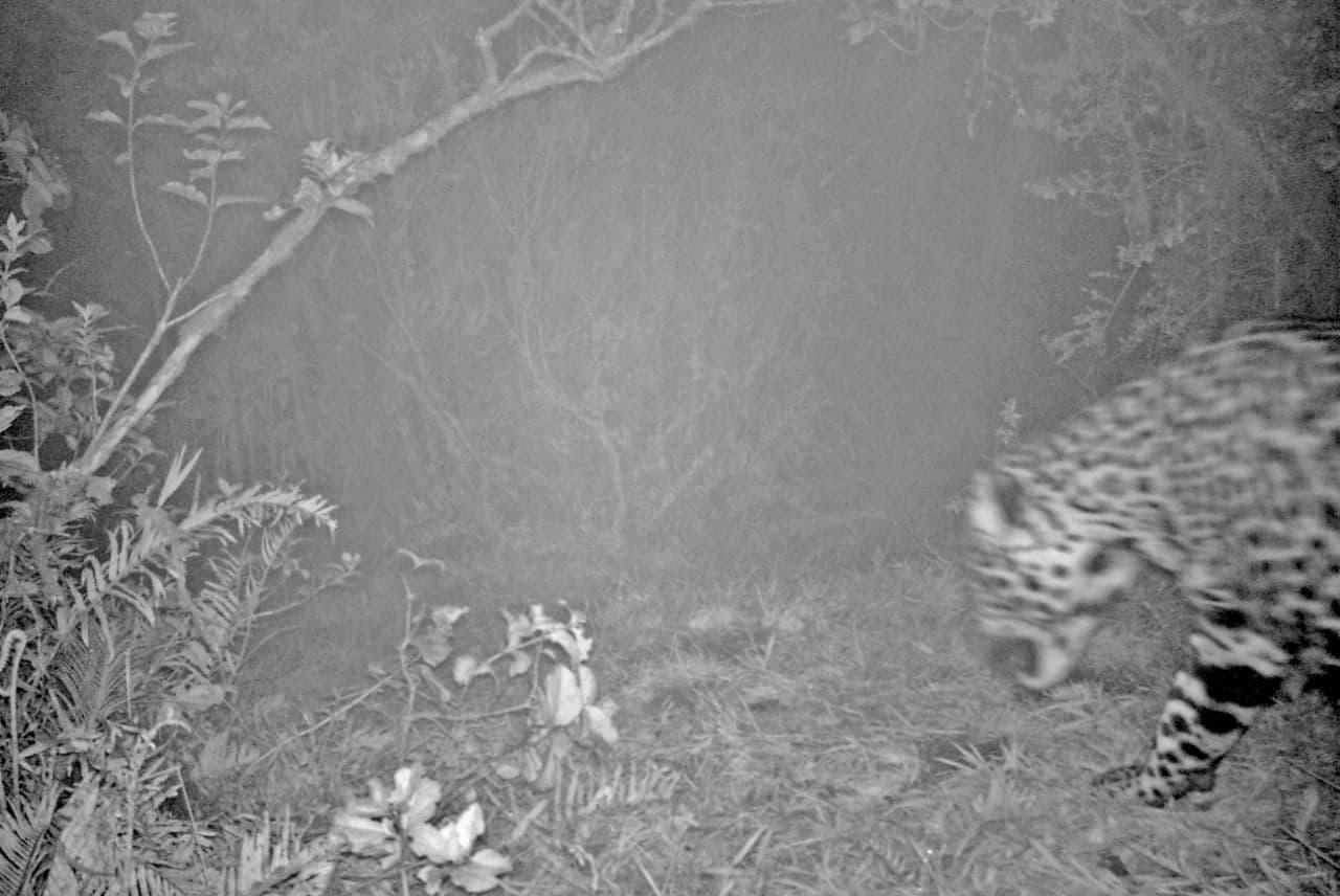 Los animales que ha identificado Corpochivor con su sistema de fototrampeo este año 2