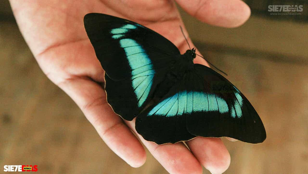 Boyacá cuenta con 'mariposas color esperanza' 1