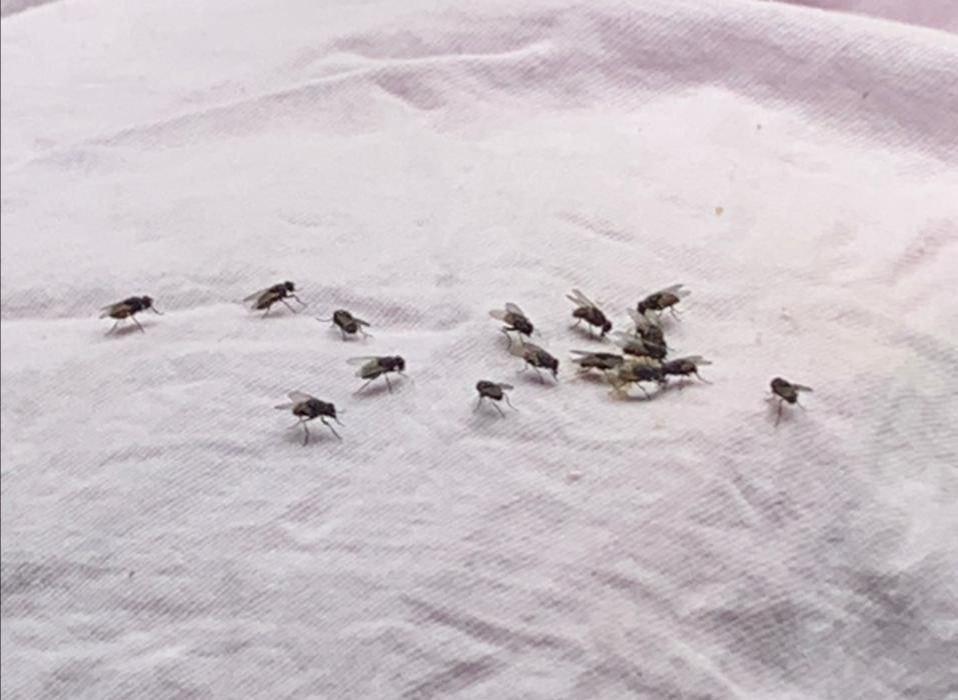 Invasión de moscas en Ráquira tiene desesperadas a decenas de familias 1