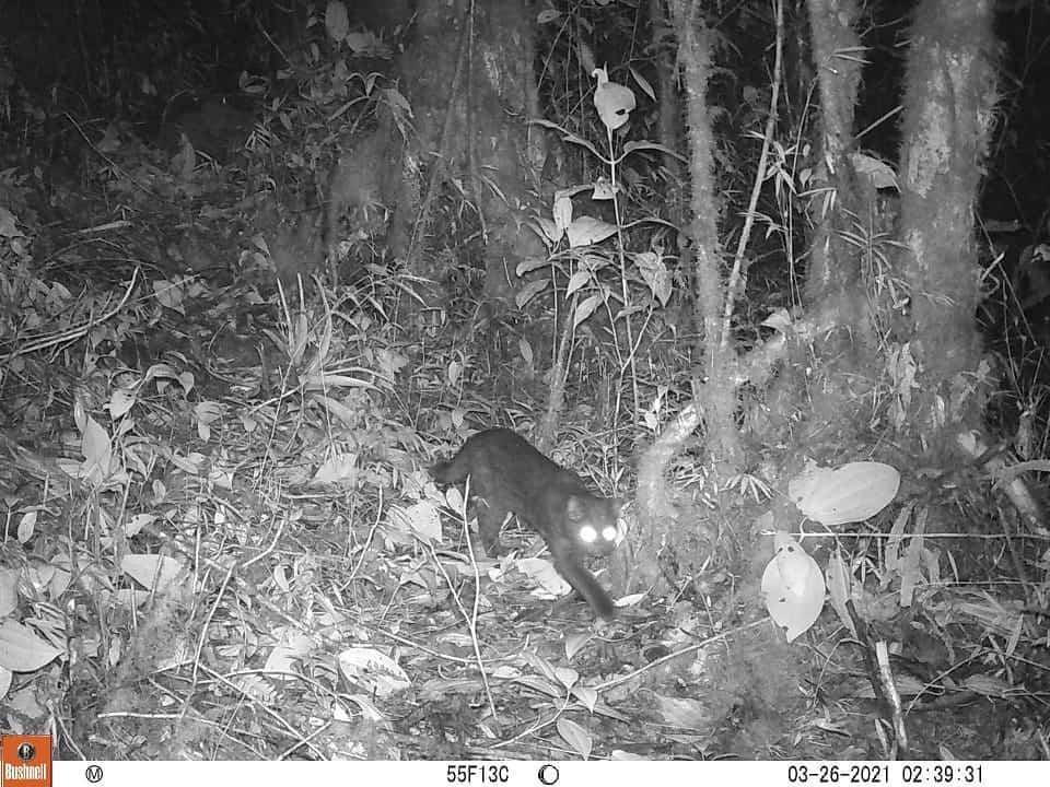 El tigrillo habita en el Parque Nacional de Pisba 1