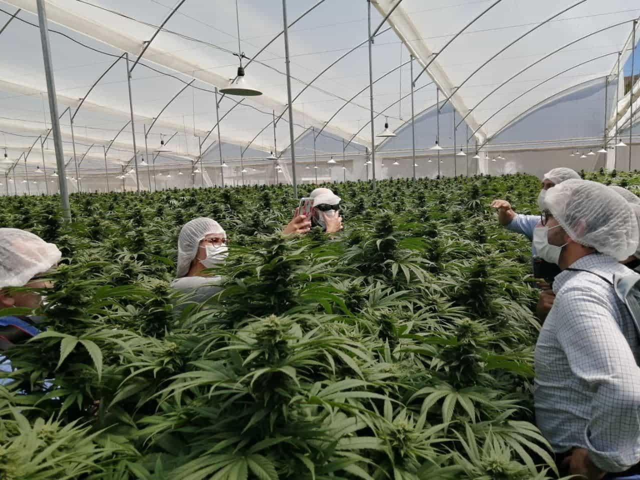 Plantaciones de cannabis en Pesca de la empresa Clever Leaves. Foto: archivo particular