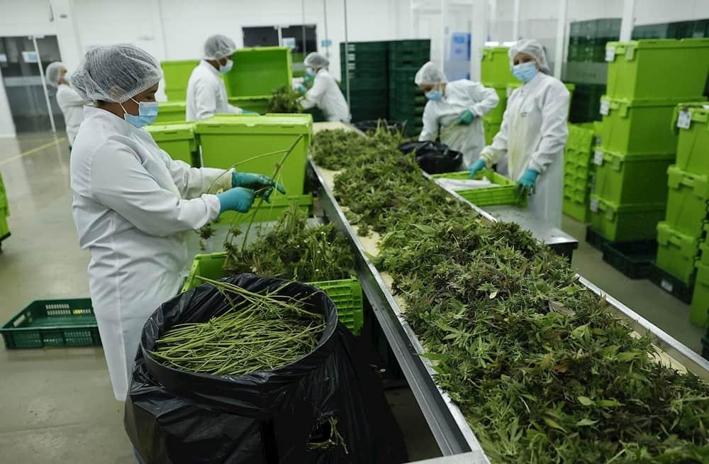 El cannabis medicinal, una oportunidad de oro verde en el campo colombiano 1