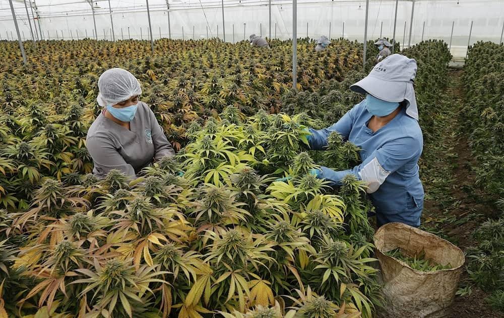 El cannabis medicinal, una oportunidad de oro verde en el campo colombiano 2