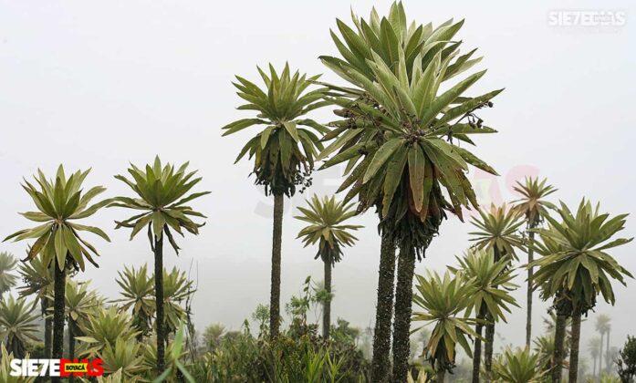 [Galería] - Los frailejones, un atractivo para disfrutar y contemplar en Boyacá #AlNatural 1