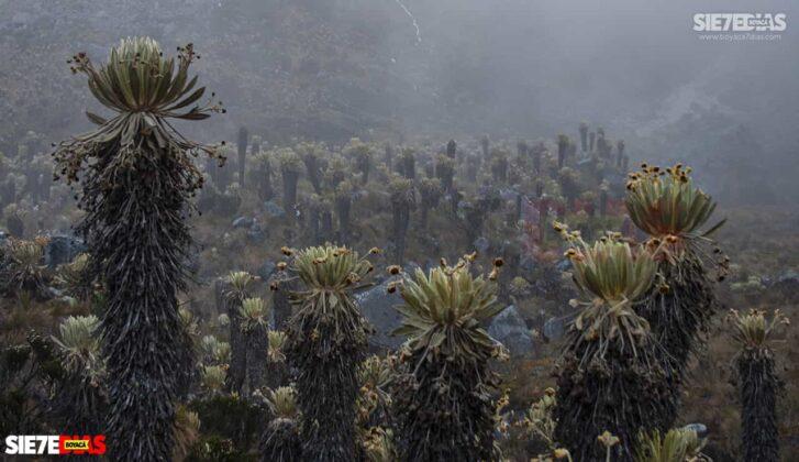 [Galería] - Los frailejones, un atractivo para disfrutar y contemplar en Boyacá #AlNatural 5
