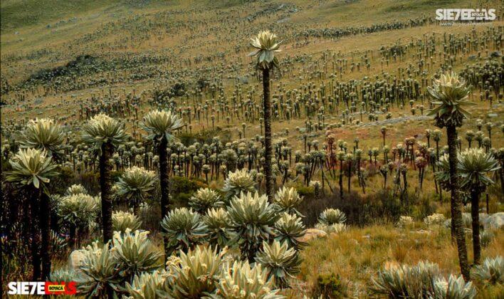 [Galería] - Los frailejones, un atractivo para disfrutar y contemplar en Boyacá #AlNatural 8