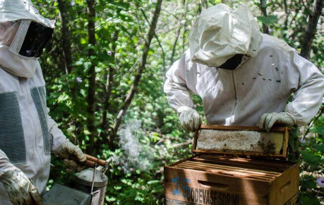 Infortunadamente en Colombia la abeja africanizada llegó desde 1971 cuando comenzó a ingresar desde Brasil, a donde habían sido importadas desde África e invadieron todo el continente. Foto: archivo particular.