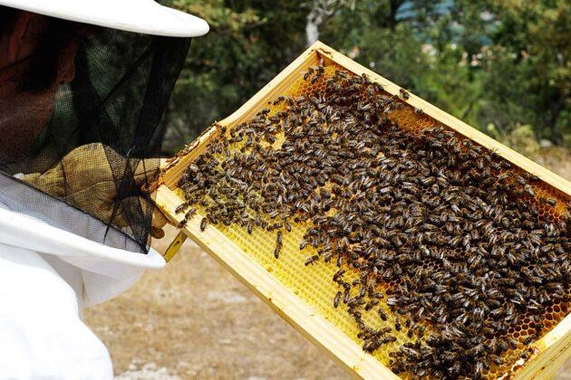 Colmena es toda la familia de abejas que contiene una reina, miles de zánganos y hasta 60.000 obreras. El panal es la unidad donde las abejas construyen la cera y depositan la miel o la cría. El enjambre es el grupo de abejas que solo transportan su reina, sus zánganos y sus obreras. Foto: archivo particular.