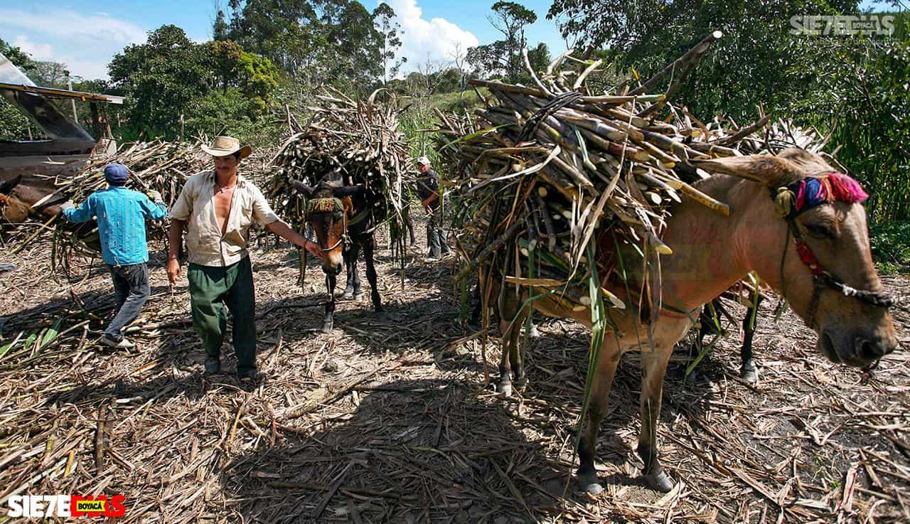 El ICA adelantó una jornada de inspección y vigilancia fitosanitaria en cultivos de caña panelera en predios del municipio de Miraflores. Foto: Archivo Boyacá Sie7e Días