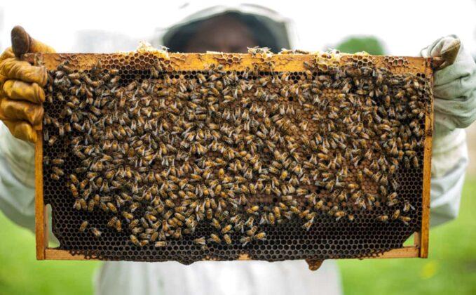 En cada colmena puede haber desde unas 5.000 hasta unas 80 mil abejas que en su colmena pueden producir, además de miel, el polen, el propóleo, la cera y hasta la misma apitoxina, que es el veneno de las abejas. Foto: archivo particular.