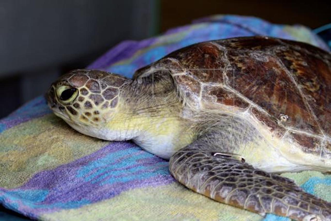 Una tortuga marina tiene un 22 % de probabilidad de morir si ingiere un plástico Una tortuga marina tiene un 22 % de posibilidades de morir si ingiere una pieza de plástico, señala un estudio publicado hoy que cuantifica por primera vez el riesgo mortal de estos animales por la contaminación de este material. EFE